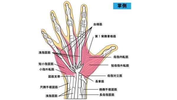 手のひらの筋肉