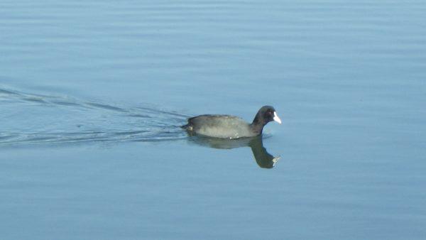 孤高のオオバンは、一羽で泳ぐ