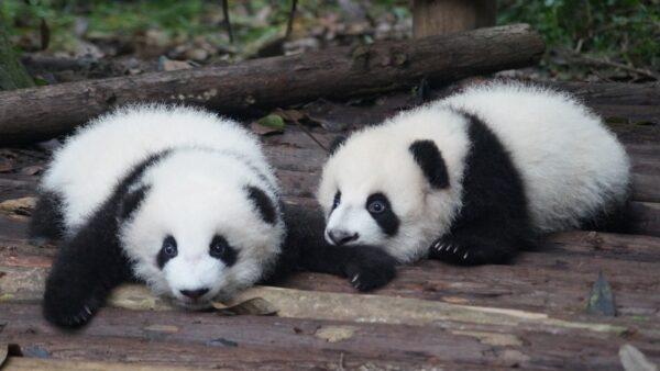 すくすく育つ子供パンダ