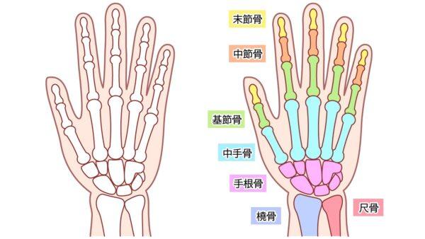 手首の橈骨と尺骨